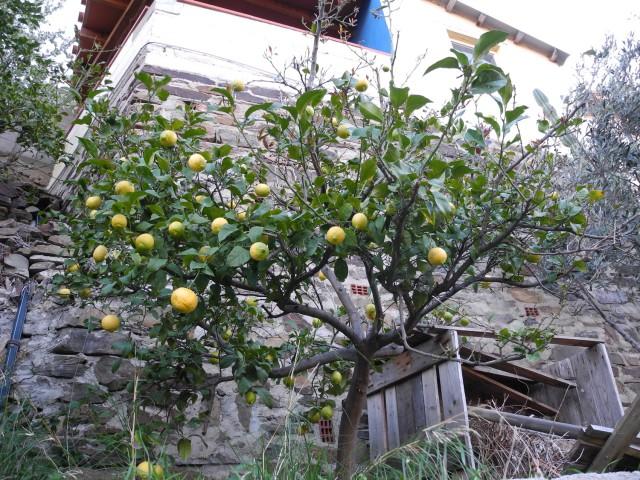 Ich glaube, ich habe vorher noch nie einen ausgewachsenen Zitronenbaum gesehen.